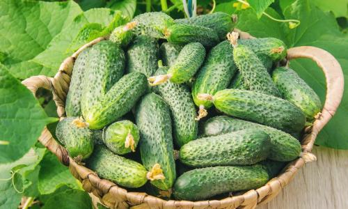 Чем нельзя подкармливать огурцы во время созревания плодов